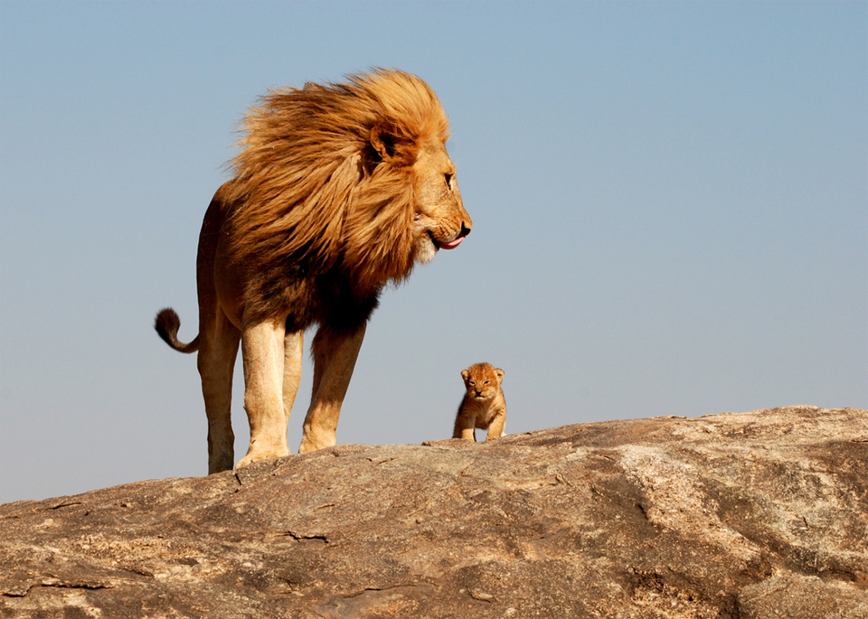 father-and-son-lions