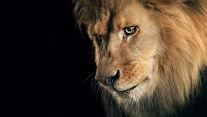 lion_king_big_cat_maine_animals_hd-wallpaper-1562165